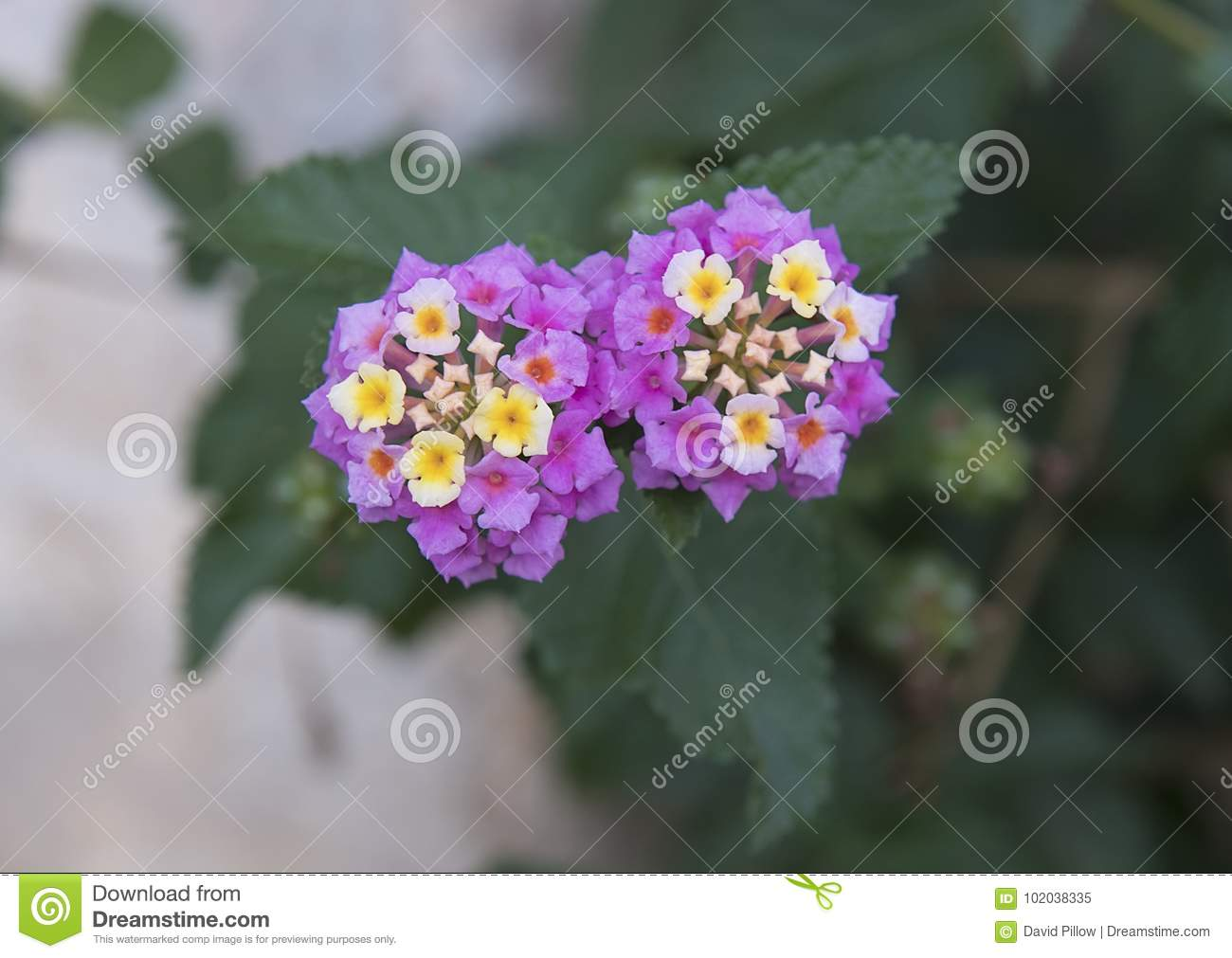 Purple And White Flower Cluster Of A Lantana Plant Stock Image