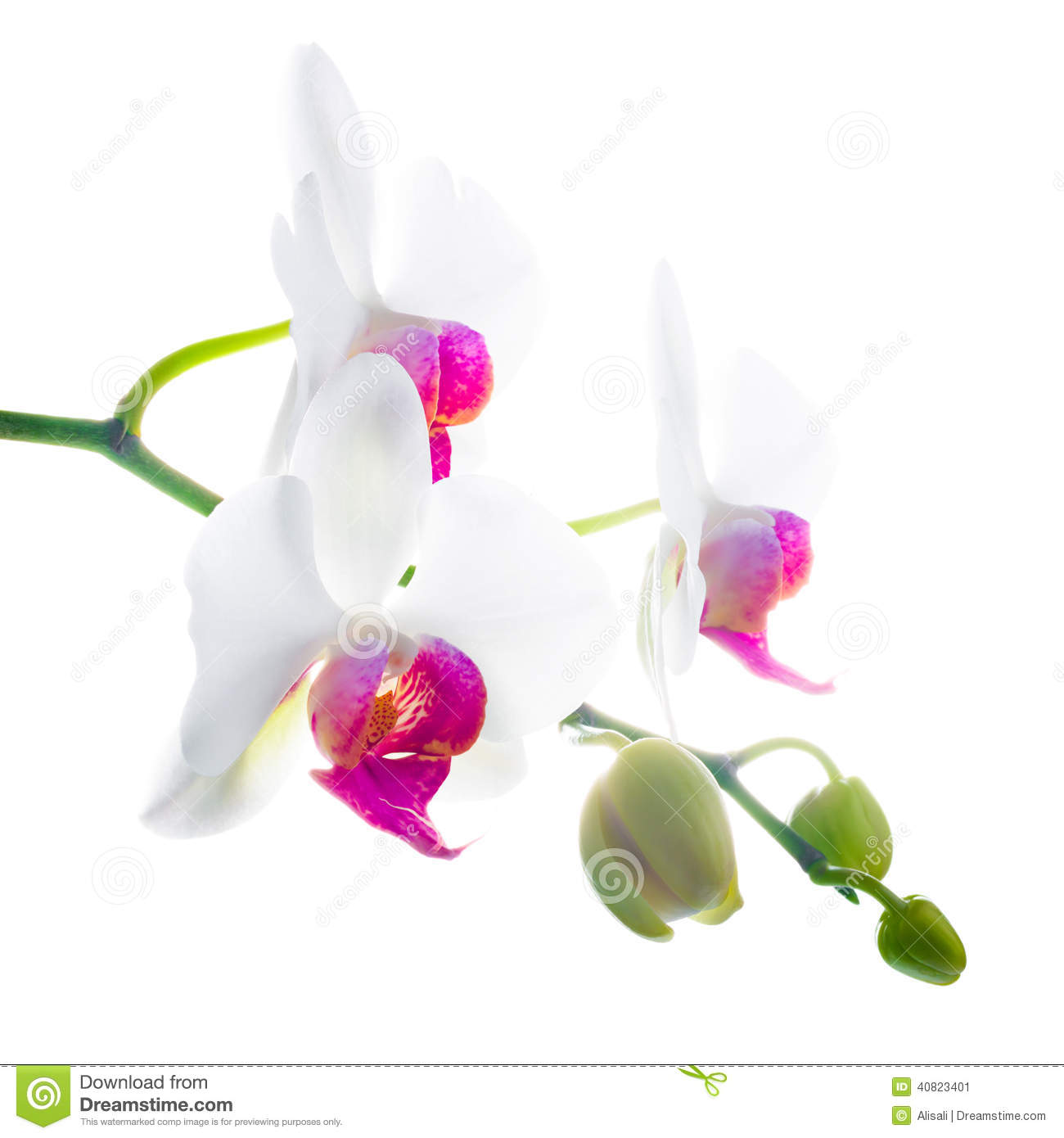 Purple and white flower orchid, phalaenosis isolated on white