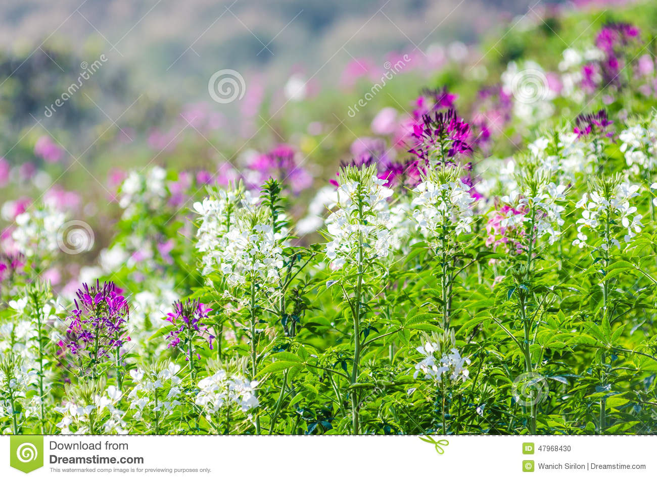 Purple And White Flowers In The Field With Blurred Background Stock