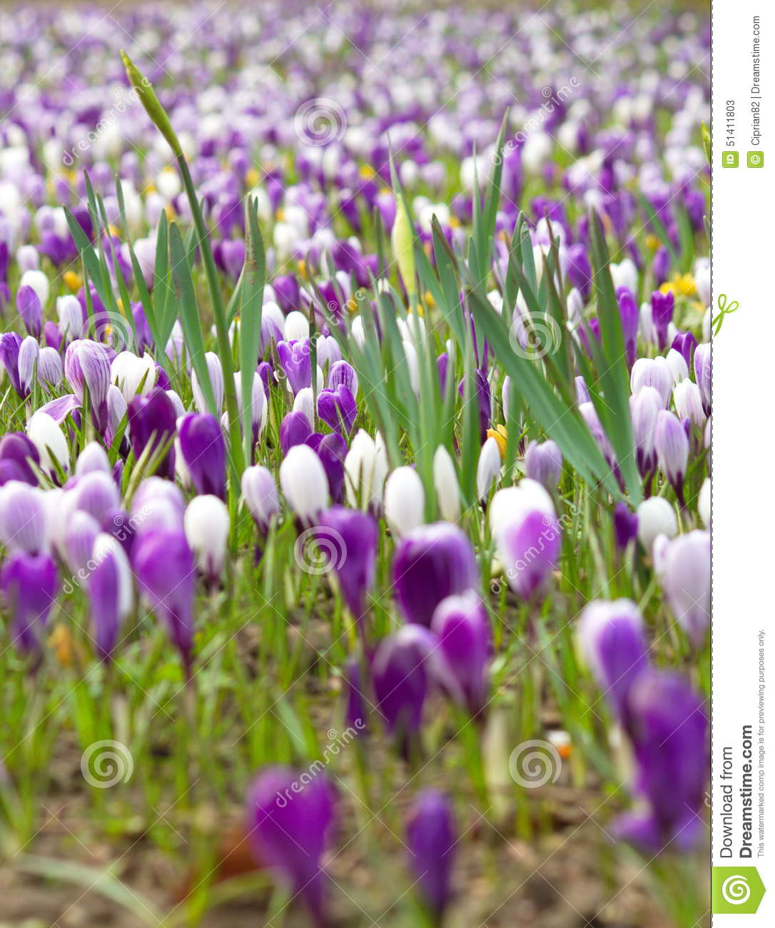 Purple And White Flowers In Field Of Flowers In Beginning Of Spring