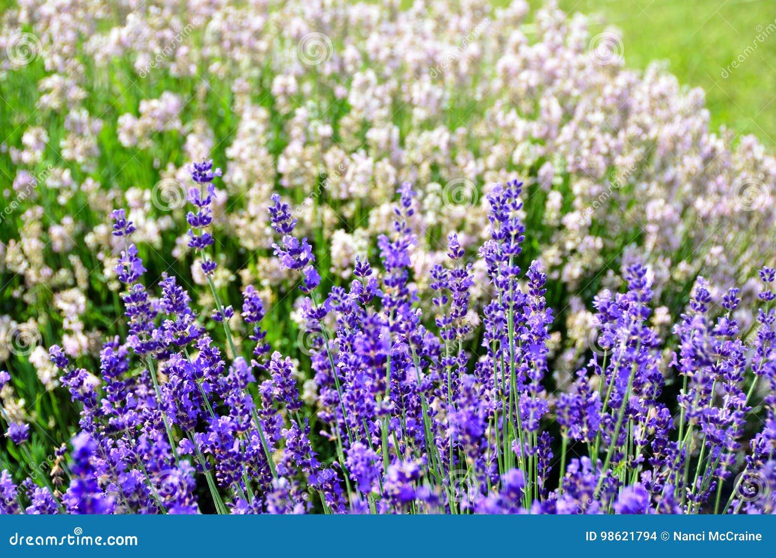 Purple And White Lavender Flowers Lavandula Angustifolia Stock Photo