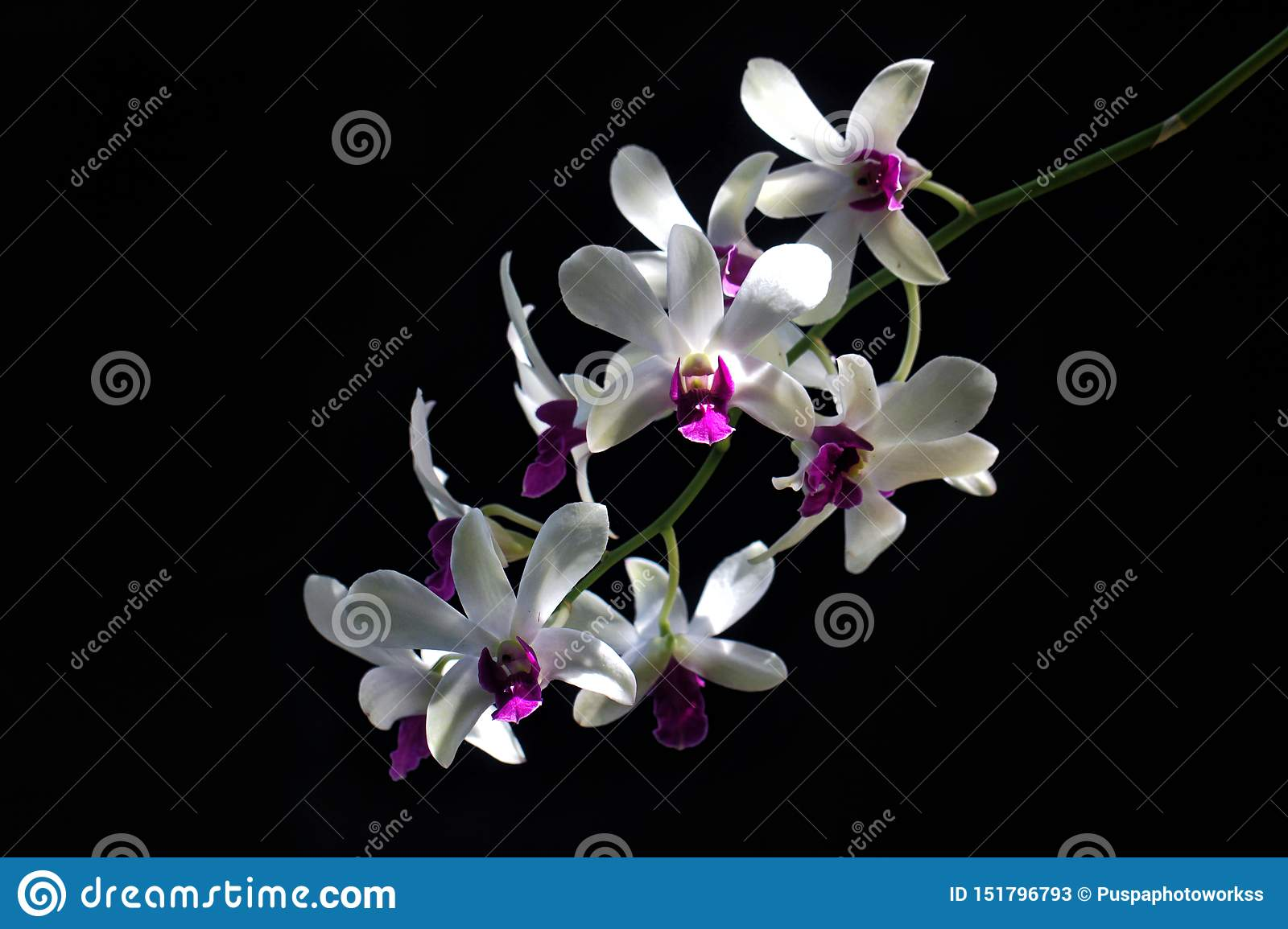 Detail of White Purple Orchids Dendrodium with Black Background and Natural Light on Flower Petals.