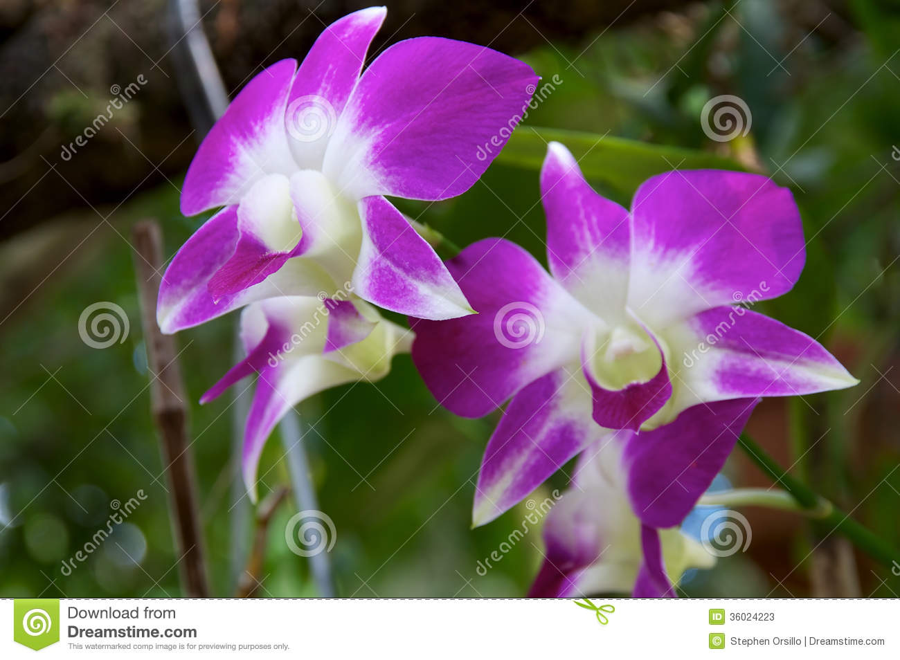 Purple And White Orchid Flowers Stock Image Image Of Petals White