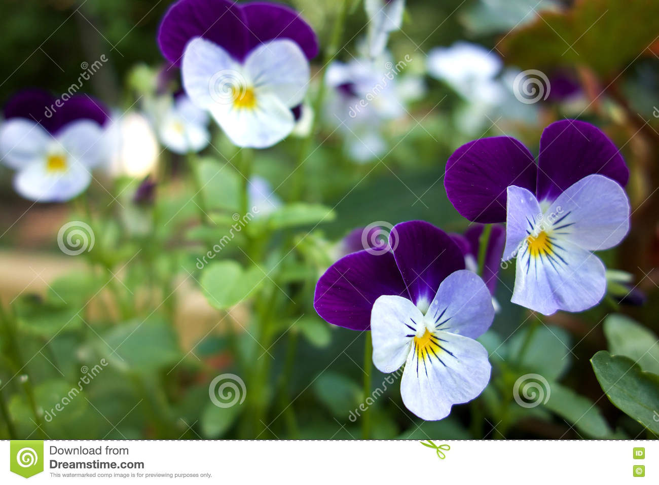 Purple and white pansy flowers stock image image of macro petal download purple and white pansy flowers stock image image of macro petal 73295945 mightylinksfo