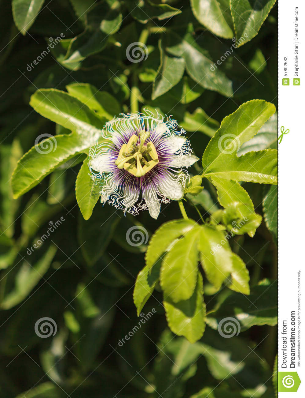 Purple and white passionflower fruit passiflora incarnate stock booms fruit green incarnate passiflora passionflower purple summer vine white dhlflorist Images