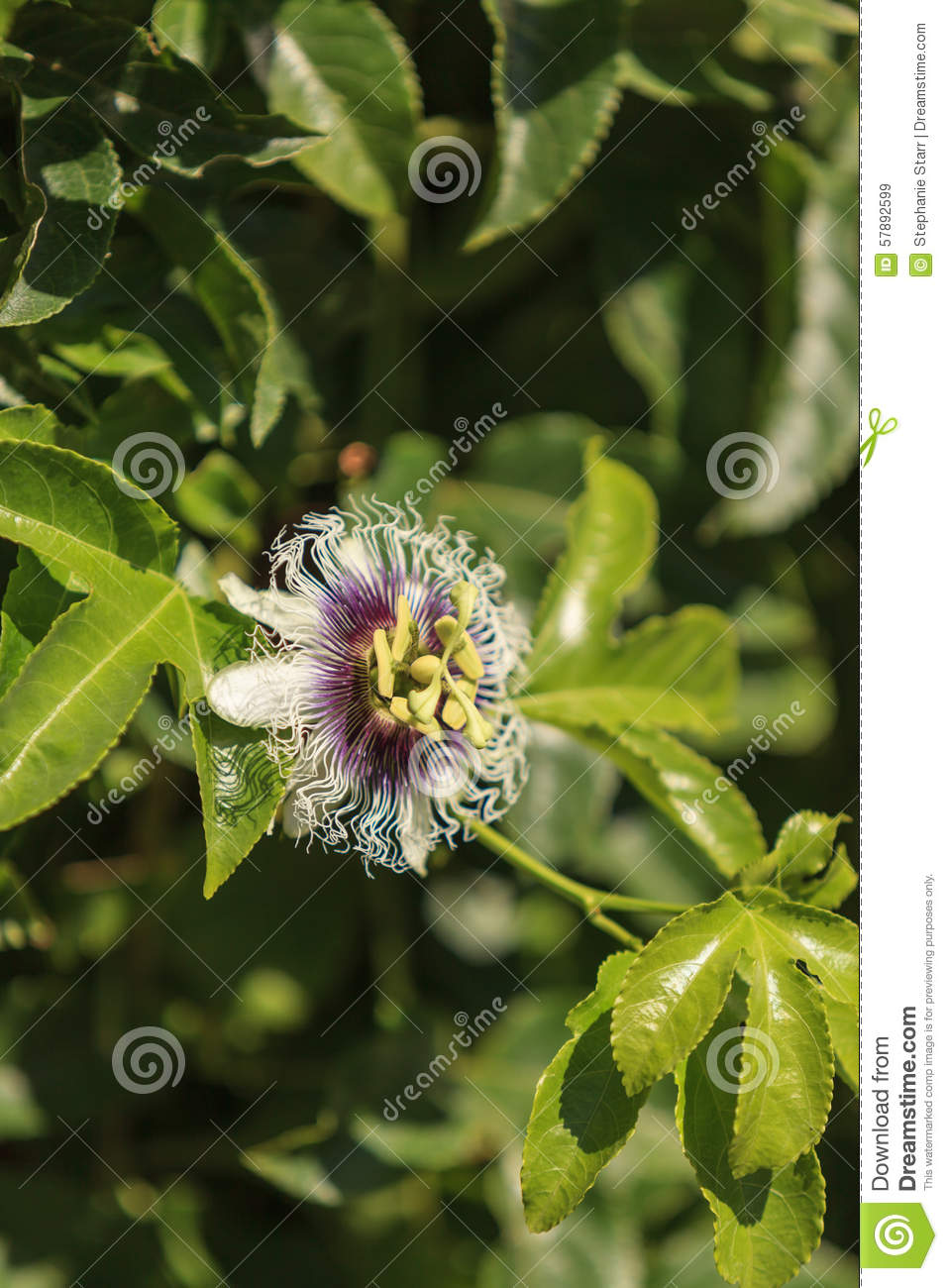 Purple and white passionflower fruit passiflora incarnate stock purple and white passionflower fruit passiflora incarnate dhlflorist Images