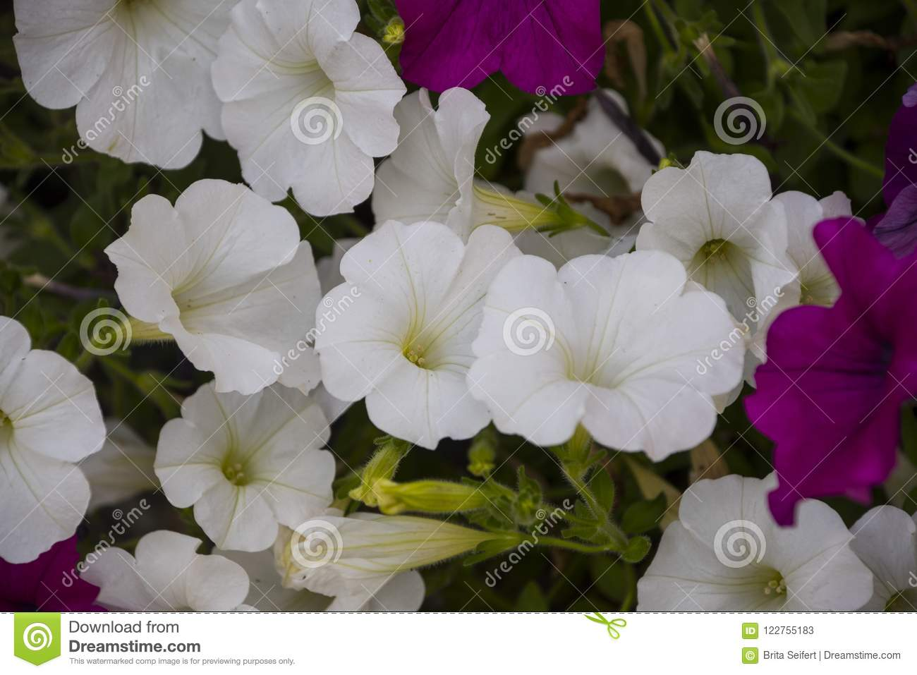 Purple And White Petunia Flowers In The Garden Flower Backgroun