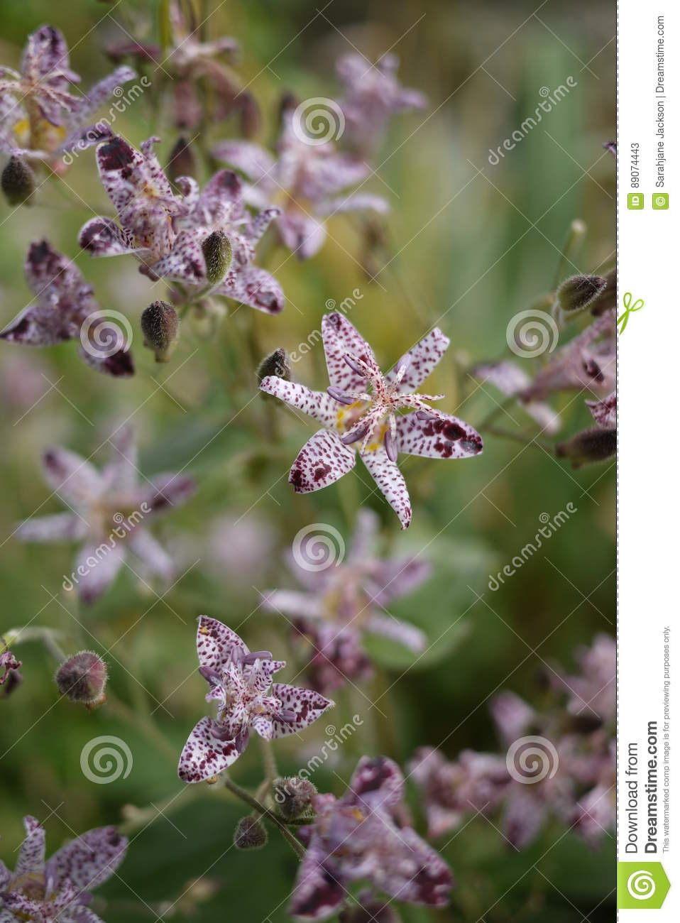 Purple and white small toad tiger lily flowers stock image image purple and white small toad tiger lily flowers mightylinksfo