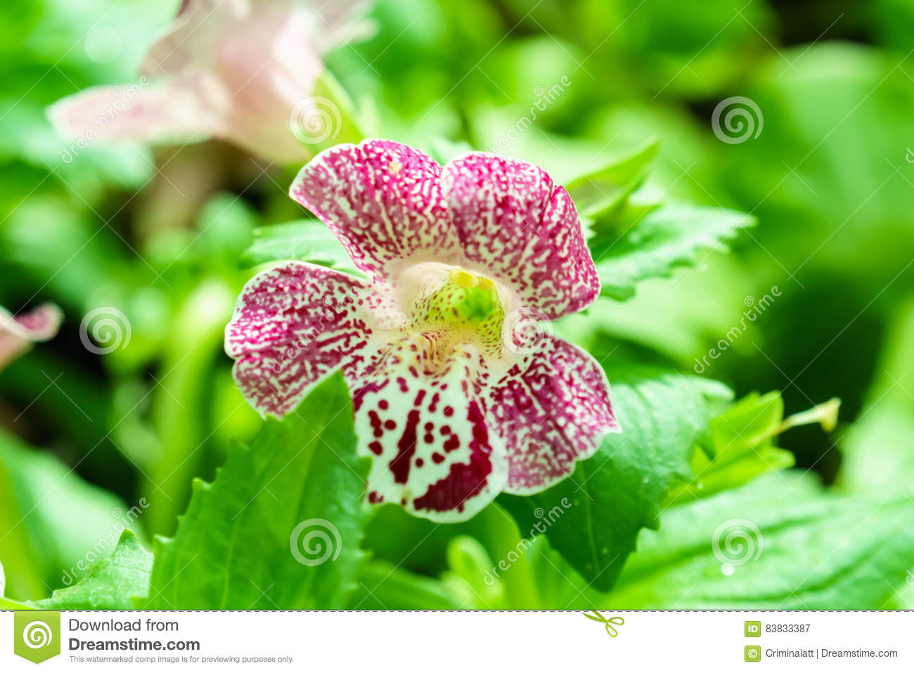Purple White Spotted Mimulus Monkey Flower In Garden Stock Image