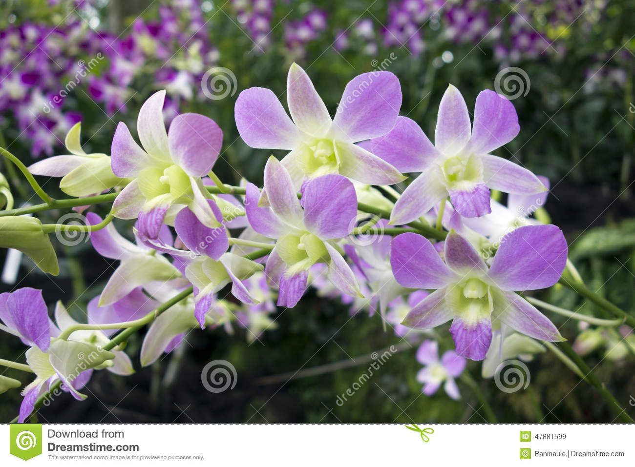 Purple And White Tropical Orchid Stock Image Image Of Botanical