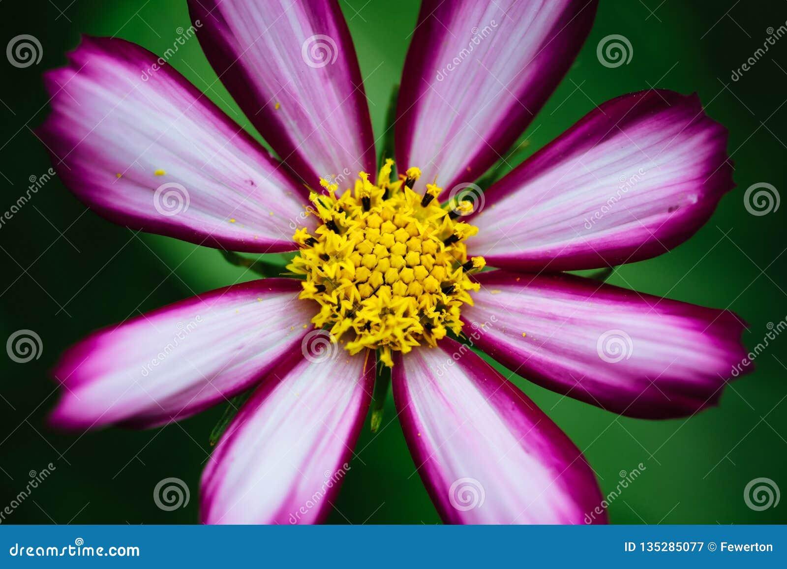 "Purple, white, vivid pink wild flower ""Wild Cosmos Flower"" Cosmos bipinnatus blooming during Spring and Summer"