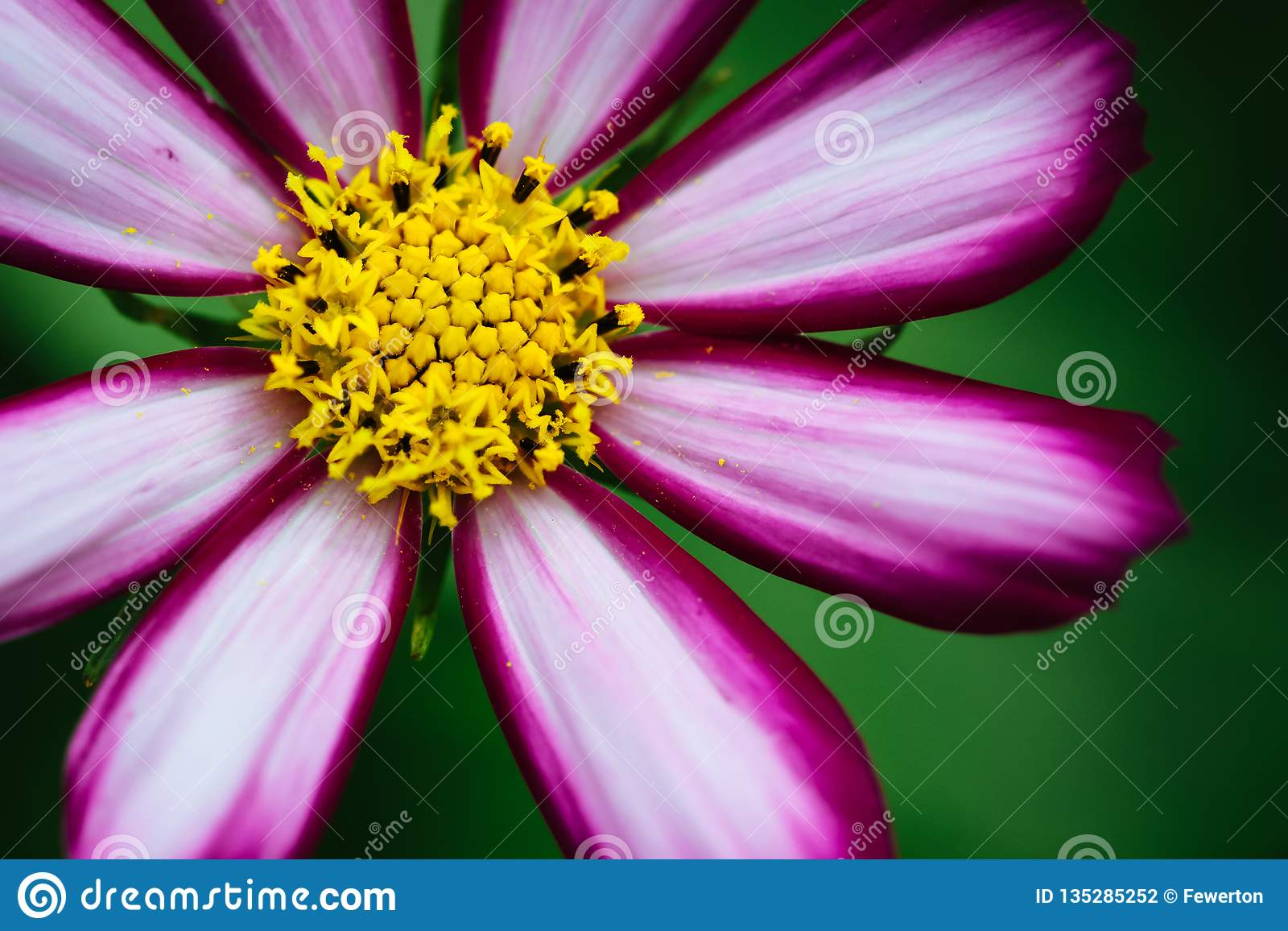 "Purple, white, vivid pink wild flower ""Wild Cosmos Flower"" Cosmos bipinnatus blooming during Spring and Summer"