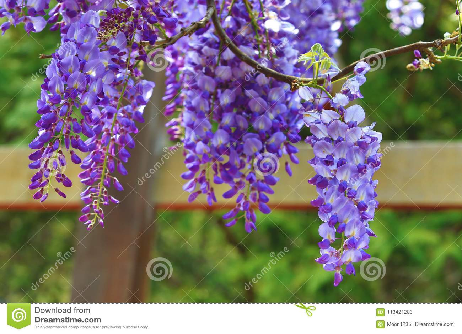 Purple wisteria flowersbean treechinese wisteriapurple vine stock download purple wisteria flowersbean treechinese wisteriapurple vine stock image mightylinksfo
