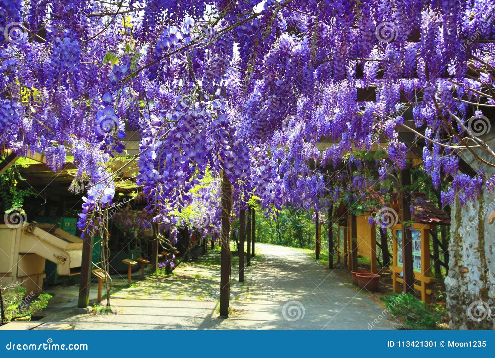 Purple wisteria flowersbean treechinese wisteriapurple vine stock purple wisteria flowersbeautiful scenery of purple with yellow flowers and buds blooming in the garden in springbean treechinese wisteriapurple vine mightylinksfo