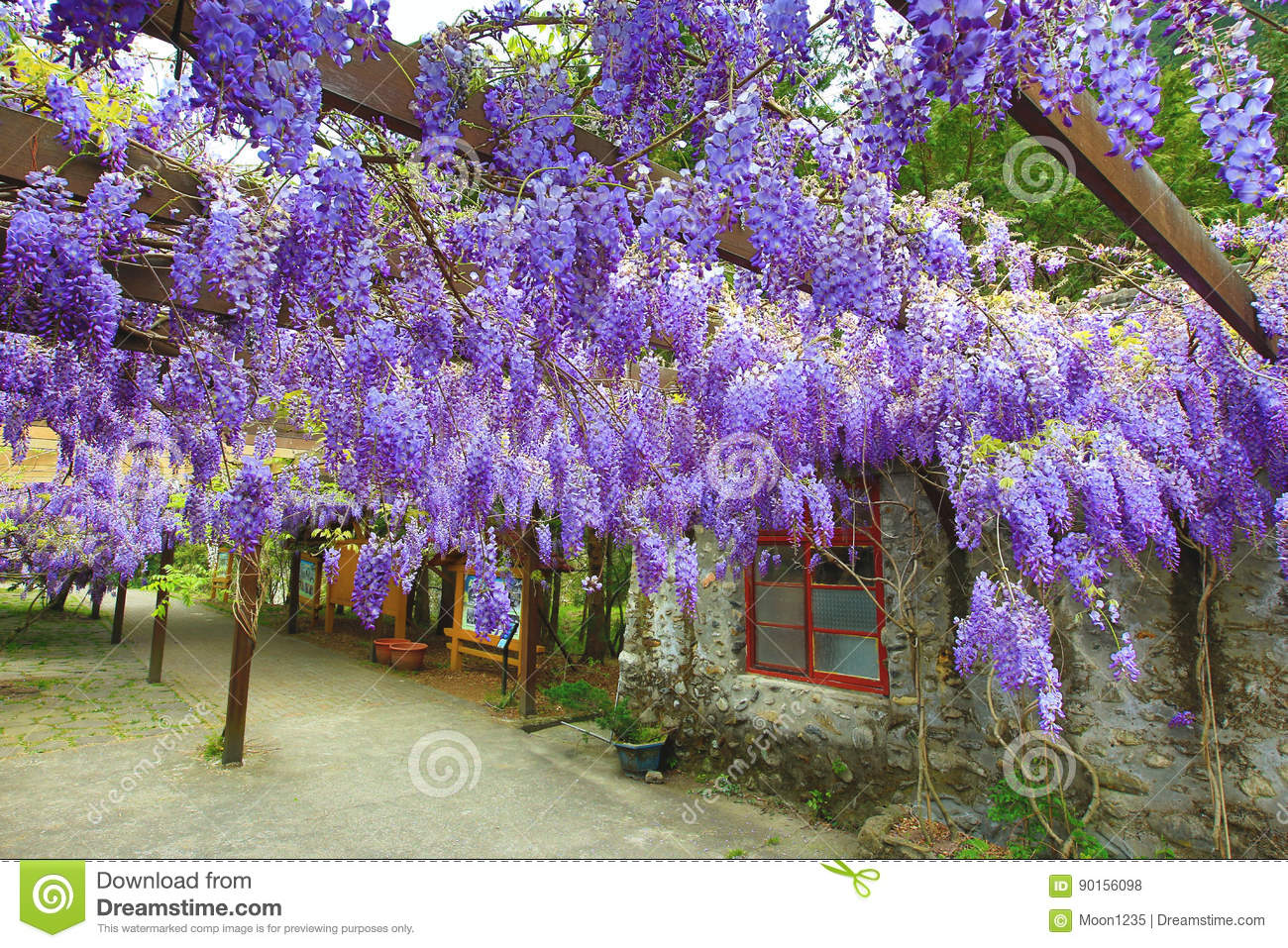 Purple wisteria flowers,Bean Tree,Chinese Wisteria,Purple Vine
