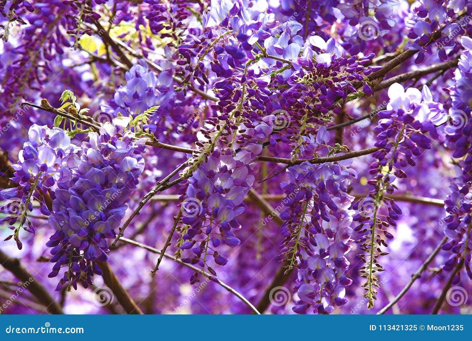 Purple wisteria flowersbean treechinese wisteriapurple vine stock download comp mightylinksfo