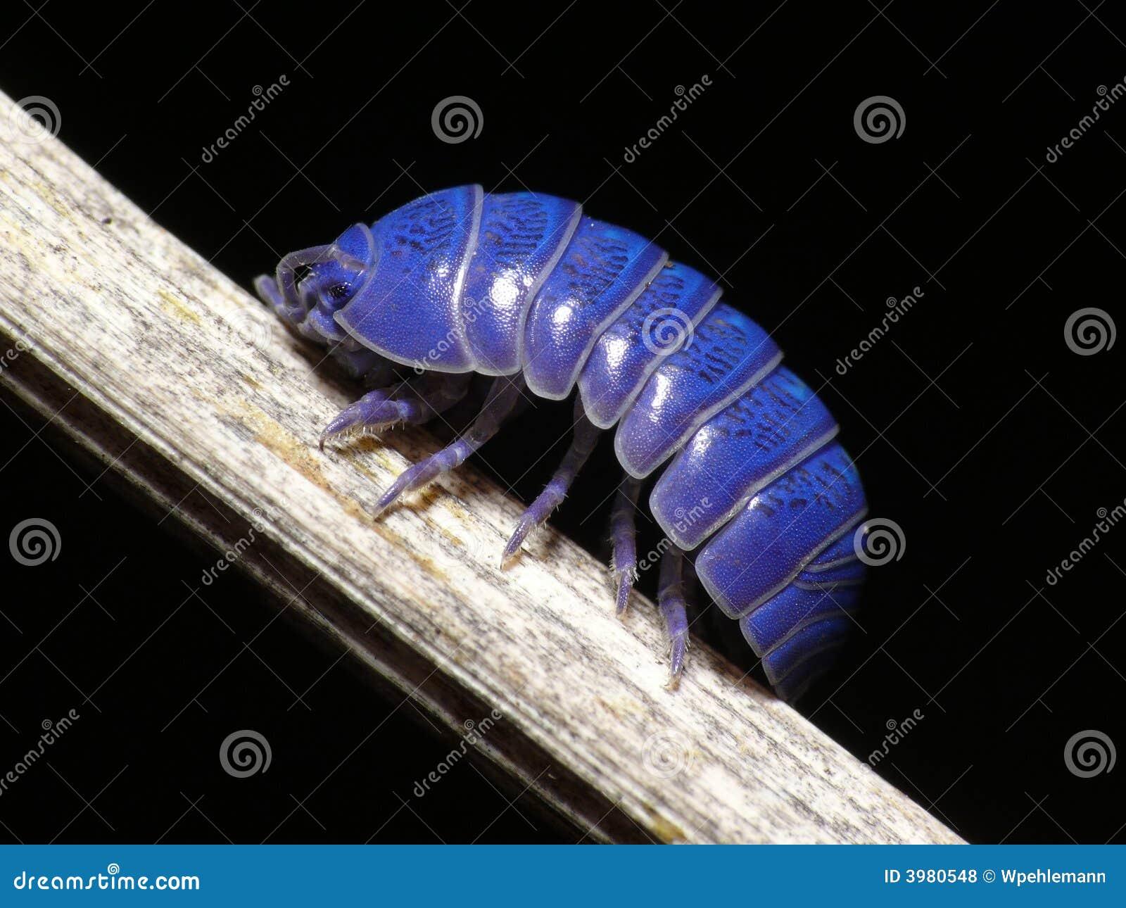 Purple wood-louse