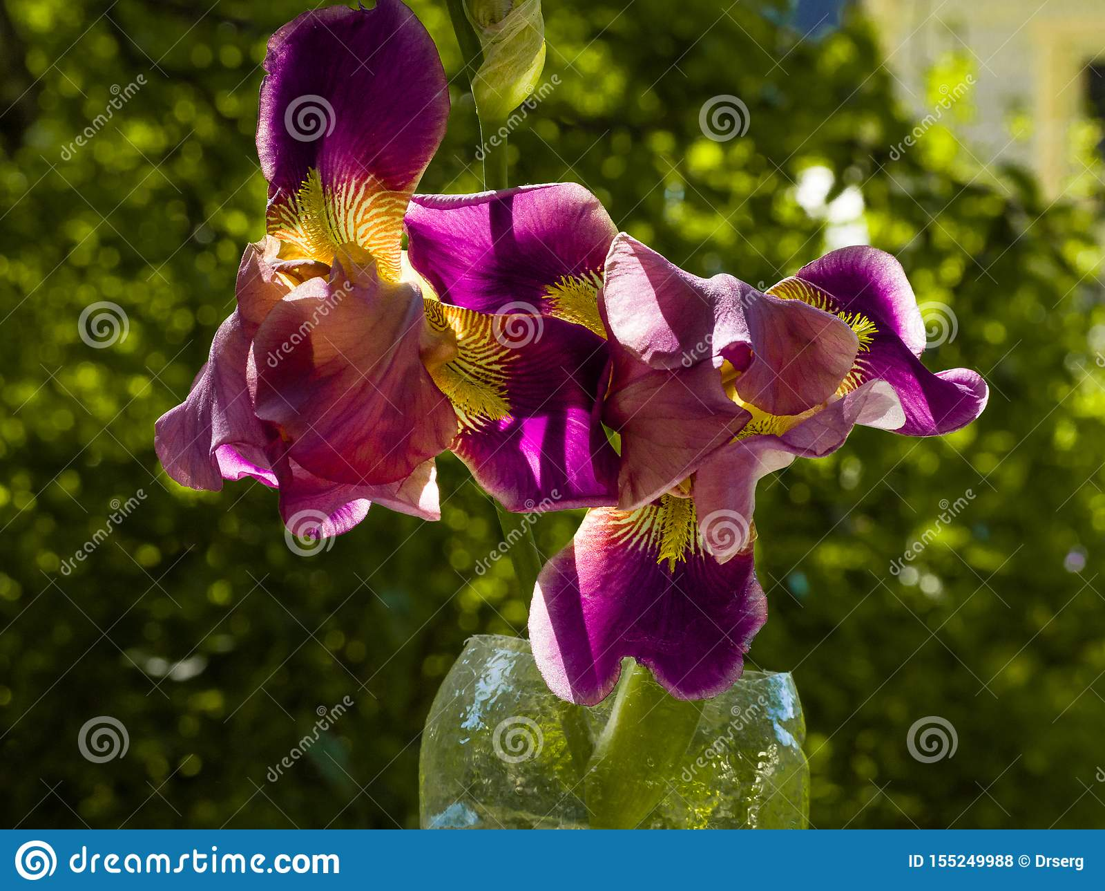 Purple and yellow bearded iris flower in bloom on dark green blurred bokeh background