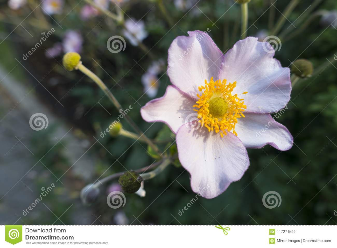 Lavender Color Flower With Yellow Center Stock Image Image Of