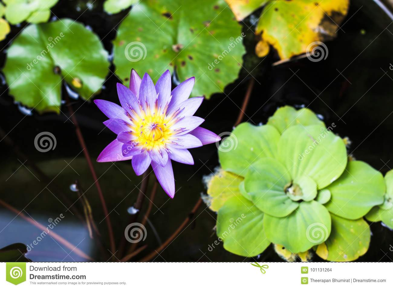Purple and yellow lotus or water lily with huge green water leafs in dark pond. Flowers for Buddhism. From top view