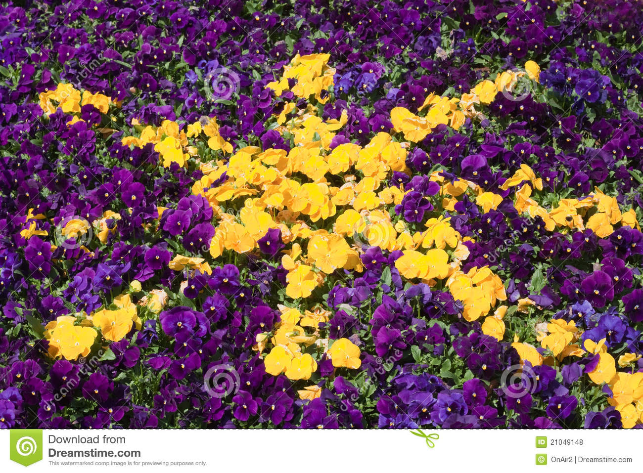 Purple And Yellow Petunia Star Flower Background Stock Photo Image