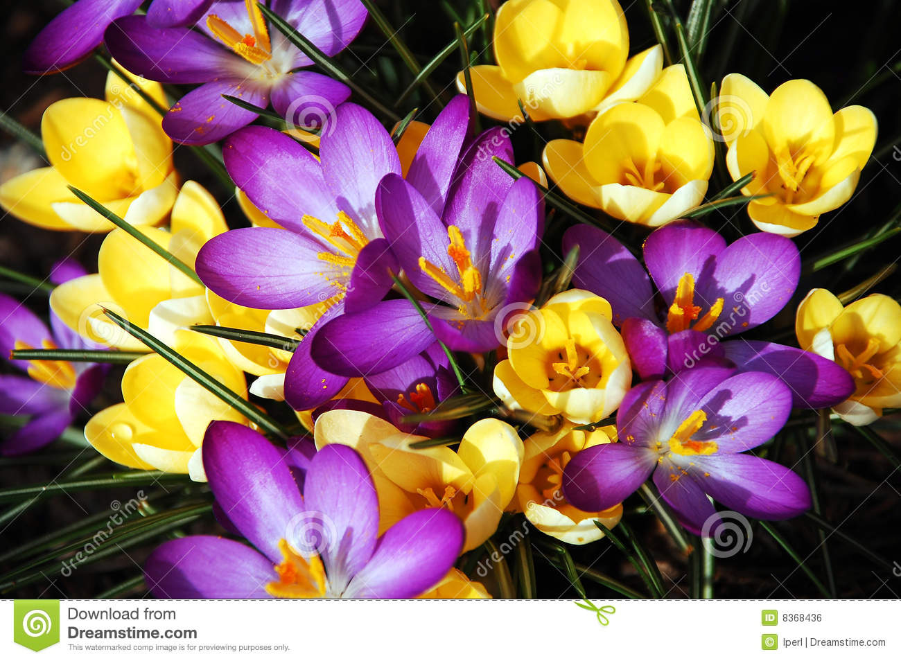 Purple And Yellow Spring Crocus Flowers Stock Photo Image Of