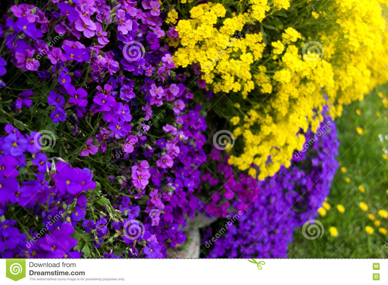 Purple And Yellow Wall Flower Stock Photo Image Of Creeping Soft