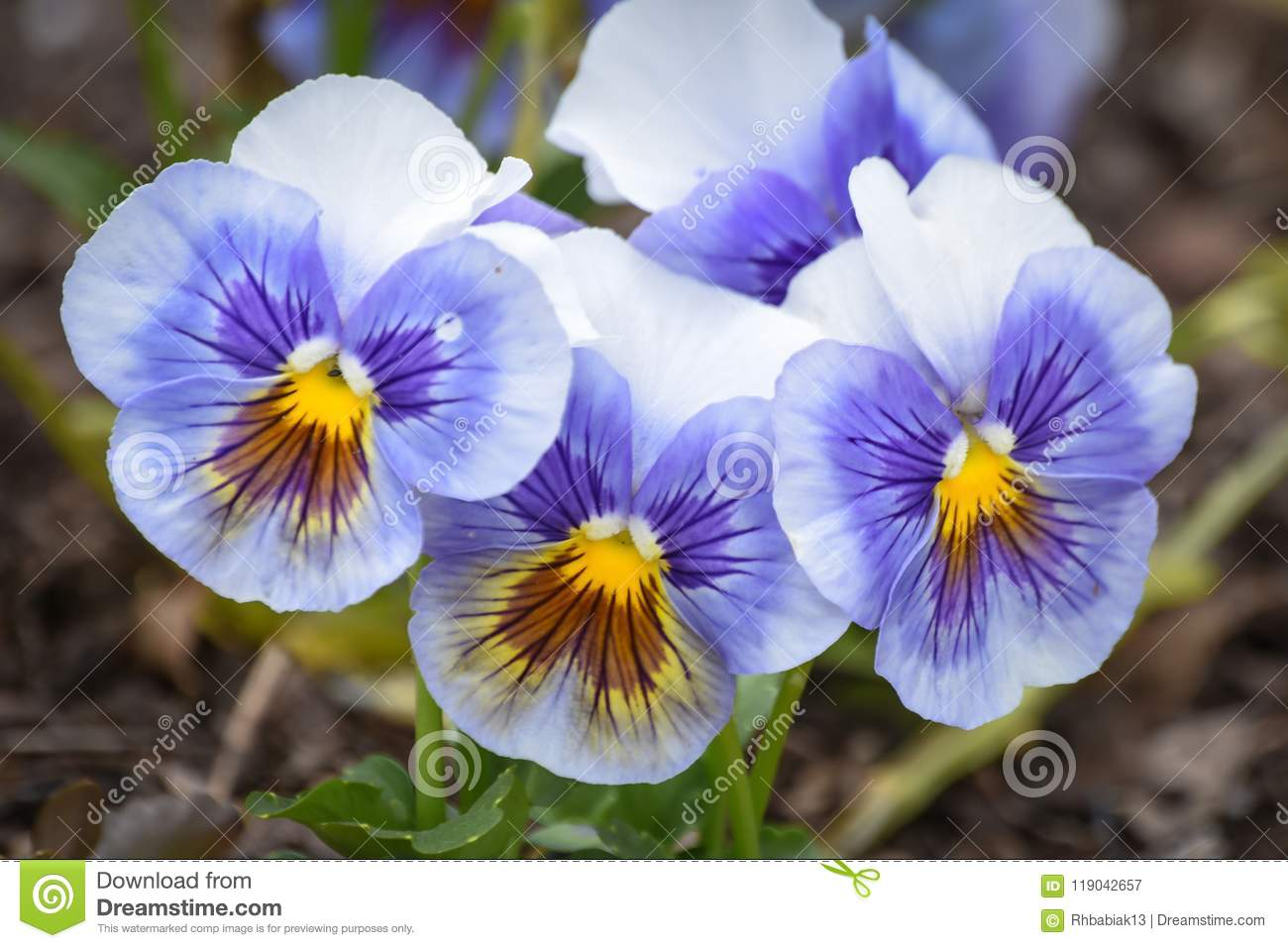 Purple, Yellow and White Pansy Flowers in Bloom