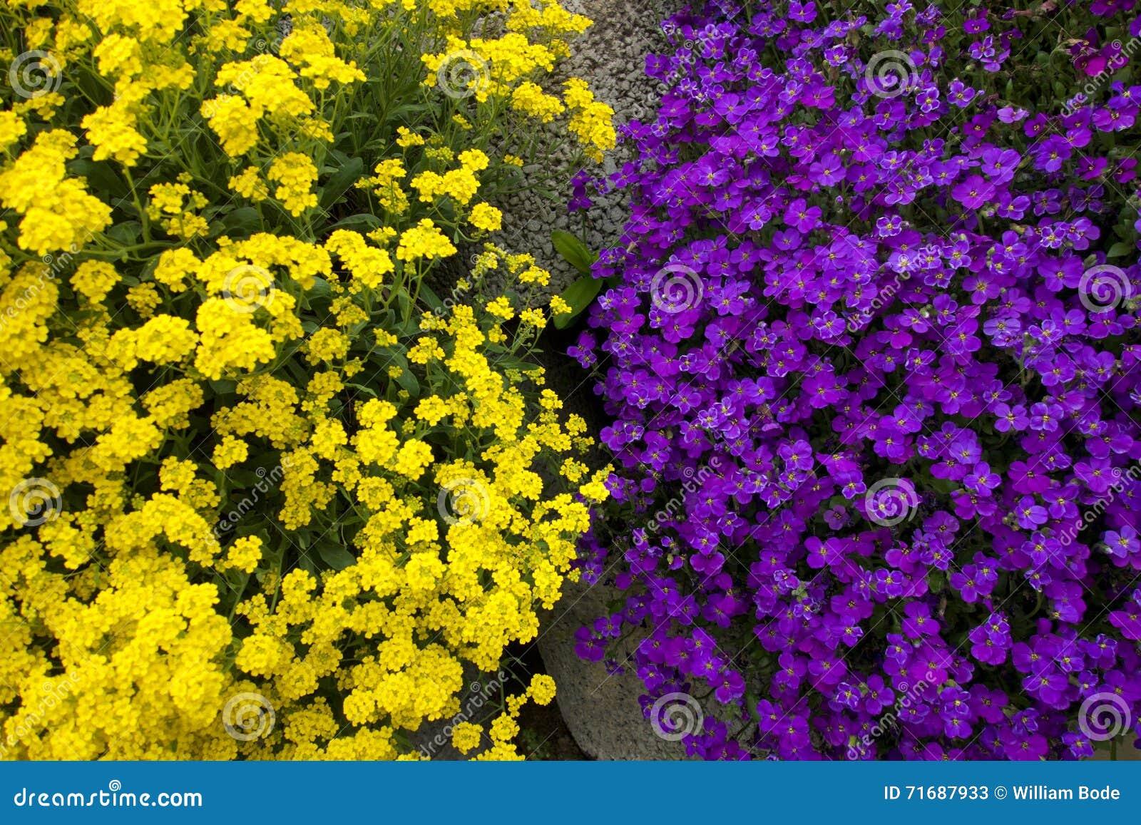 Purple And Yellow Yinyang Flowers Stock Image Image Of Like