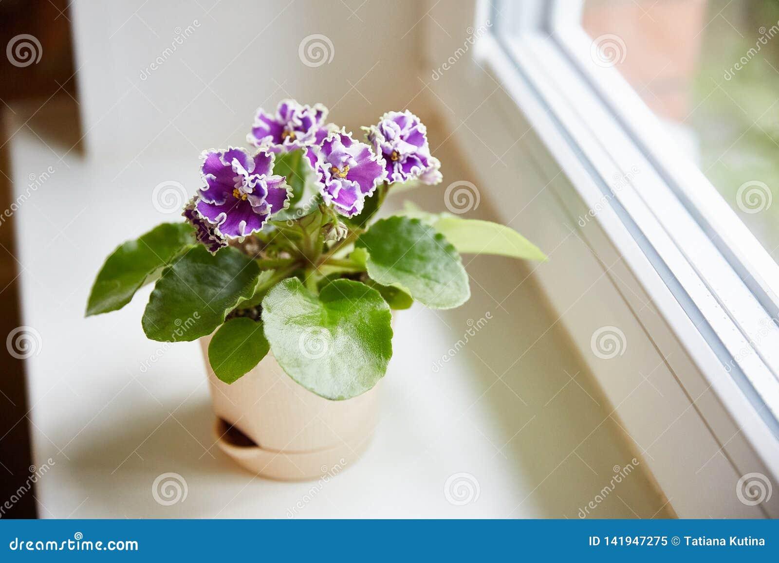 Purpul Afrikaanse saintpaulia op het venster