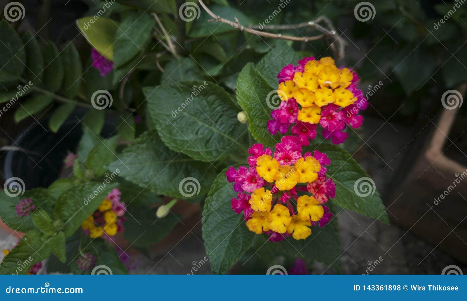 Purpur und gelbe Lantanablume nachdem dem Regnen