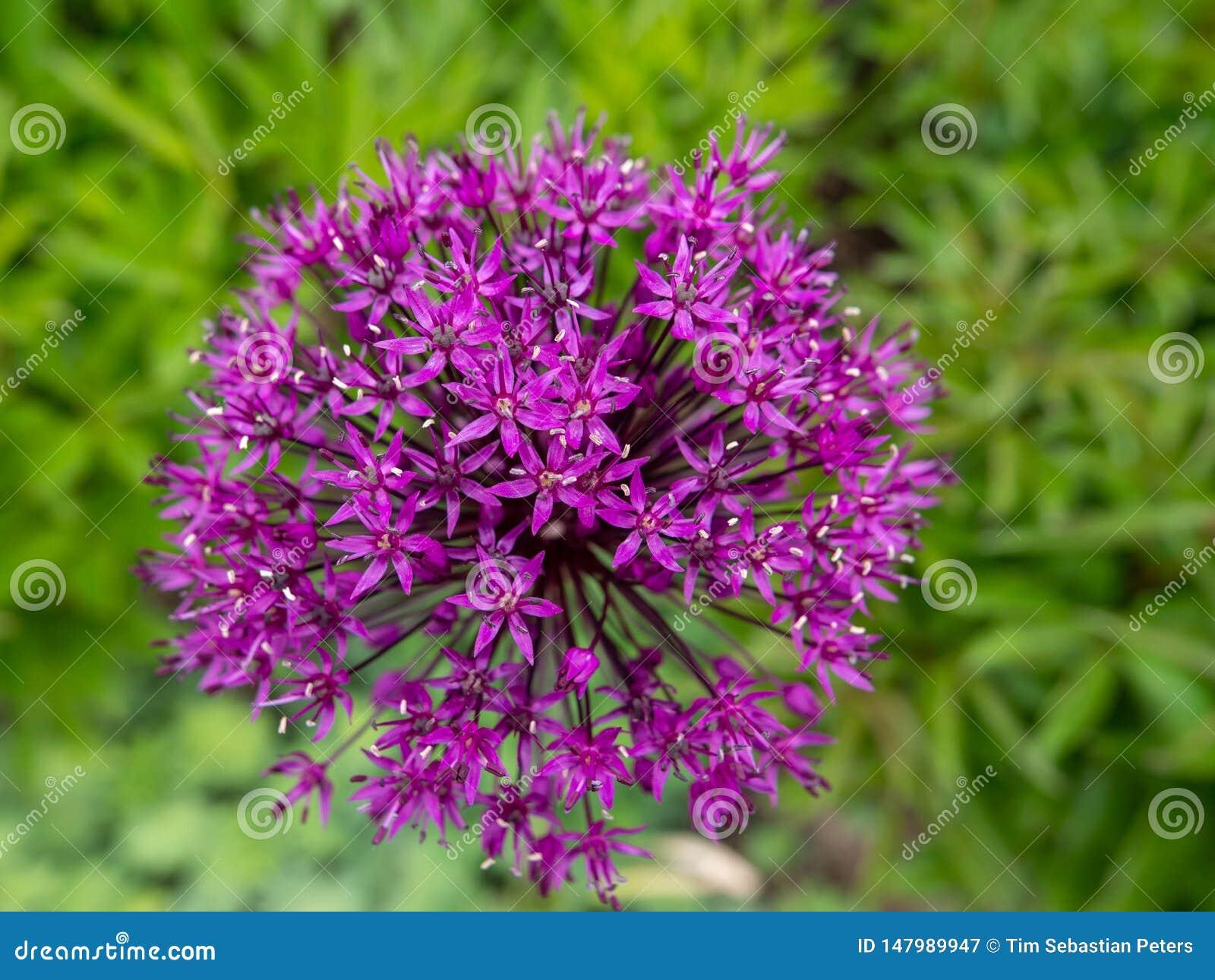 Purpura kwiat w polu