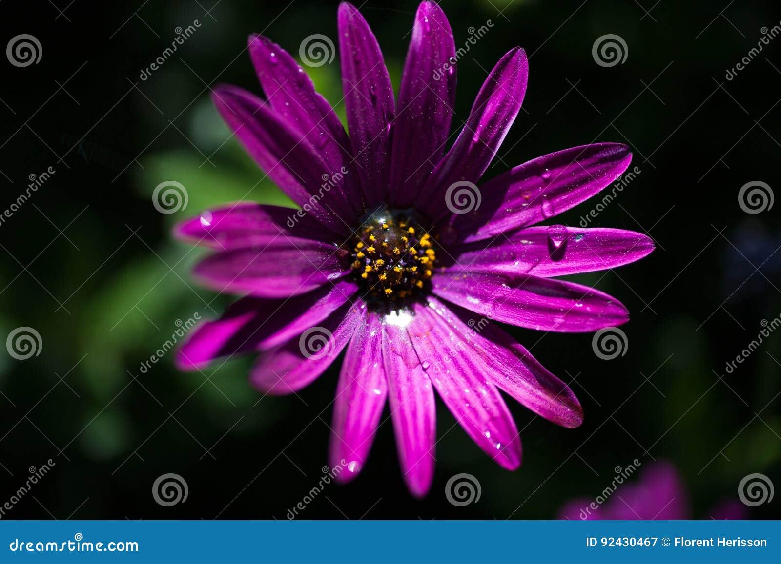 Purpura kwiat w zakończeniu up