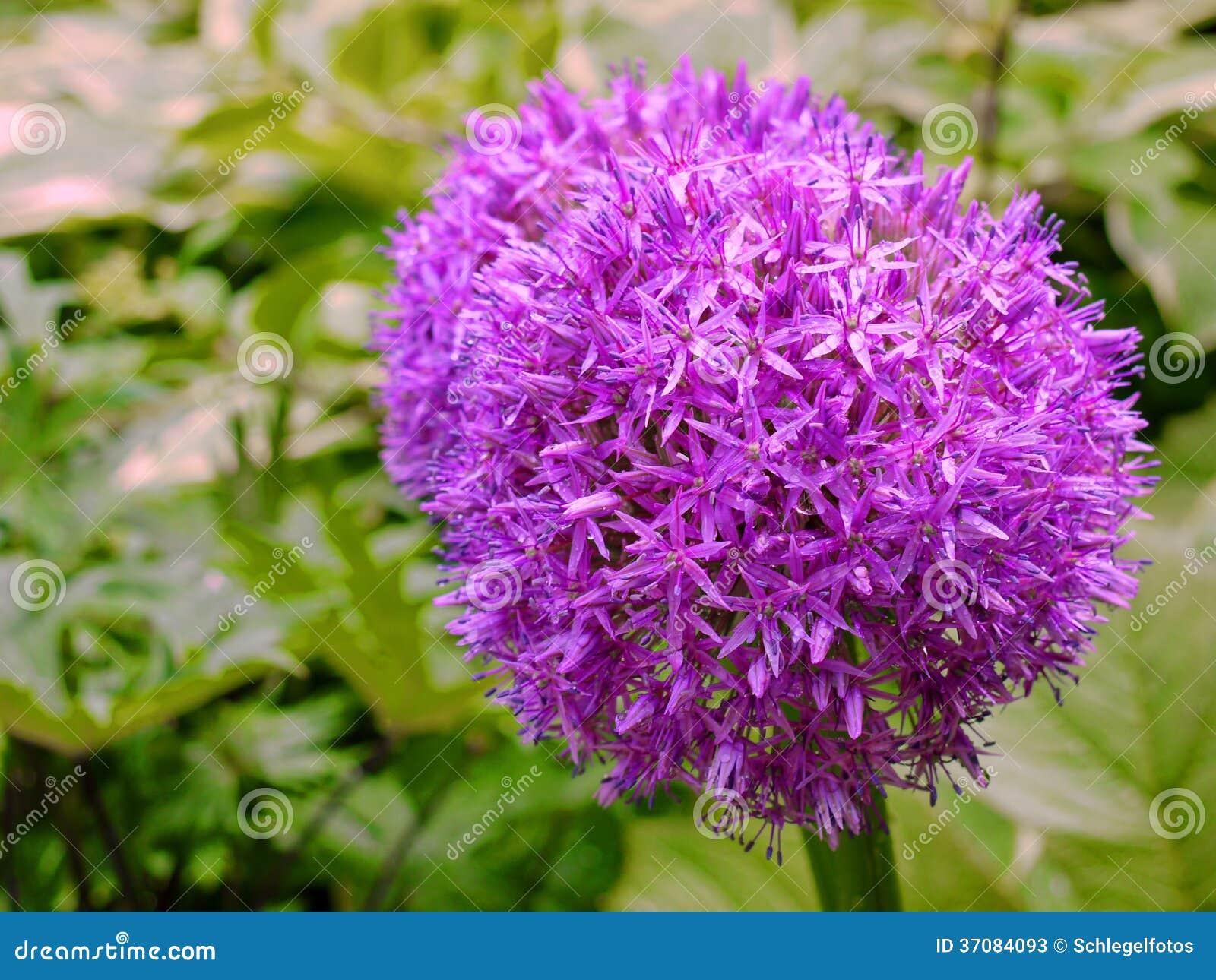 Download Purpura kwiatu alium tło obraz stock. Obraz złożonej z kwiat - 37084093