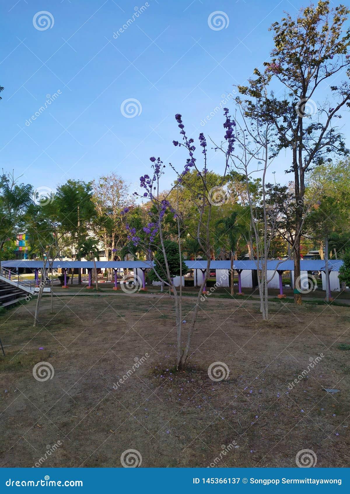 Purpura kwiatu drzewny ranek w parku