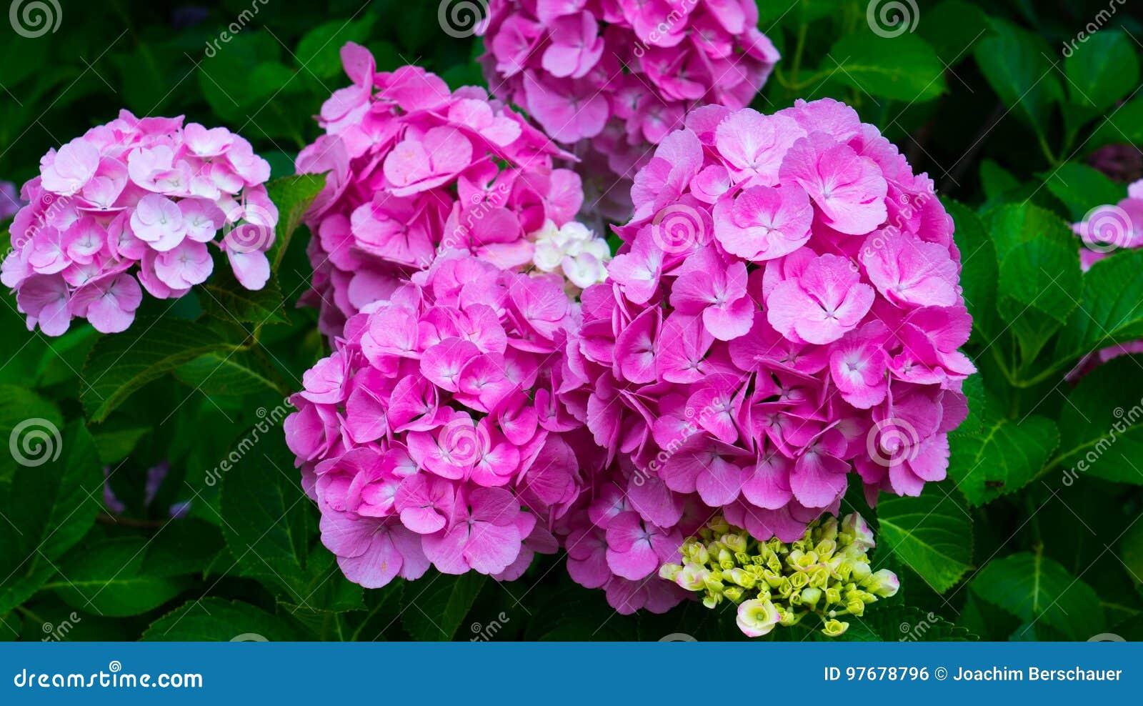 Purpura kwitnie hortensi zakończenie