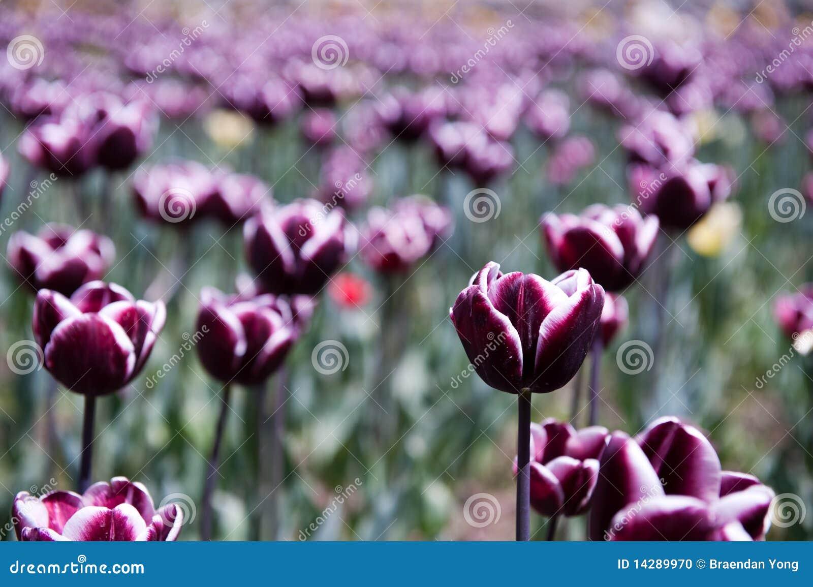 Purpura tulpan