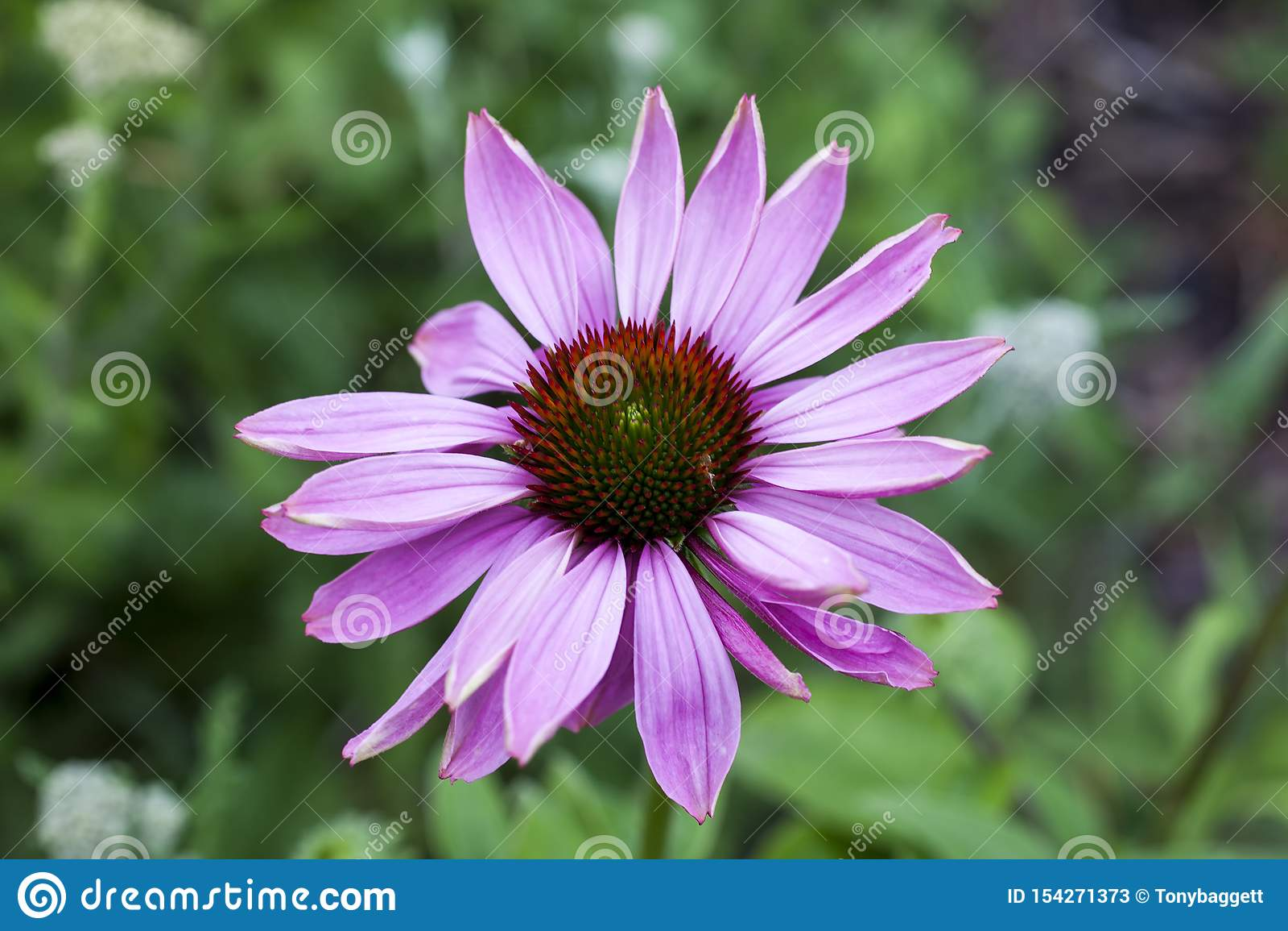 Purpurea 'esplendor del Echinacea de la pradera '