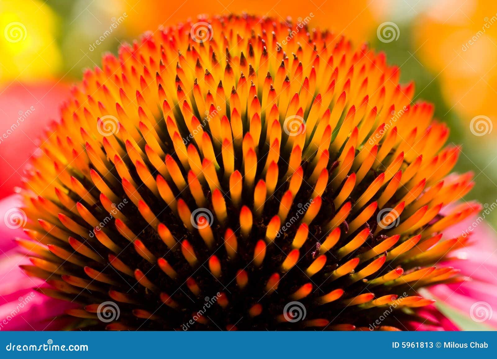 Purpurea d Echinacea