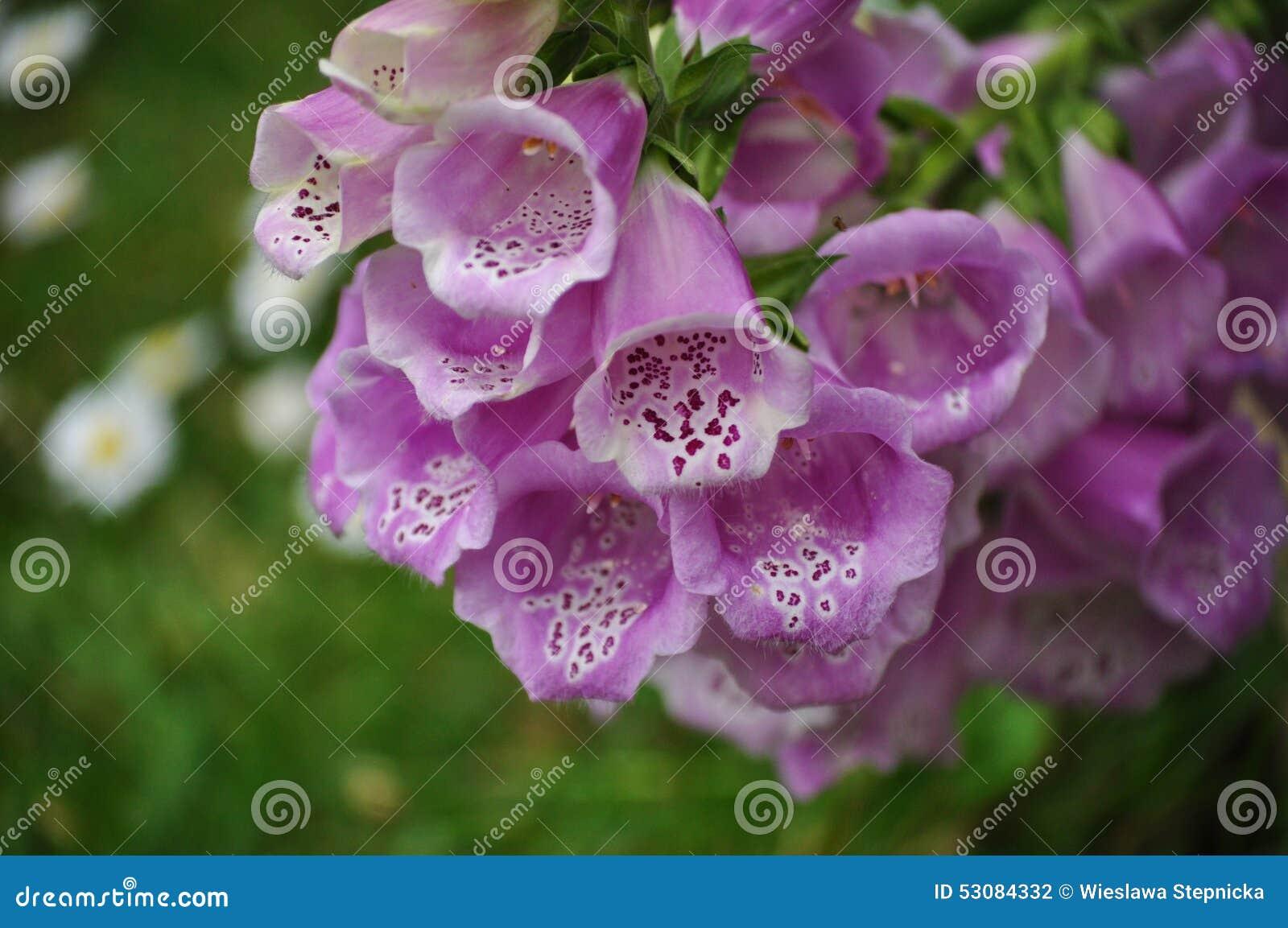 Purpurea de digitale fleurs en forme de cloche photo stock image 53084332 - Fleur en forme de trompette ...