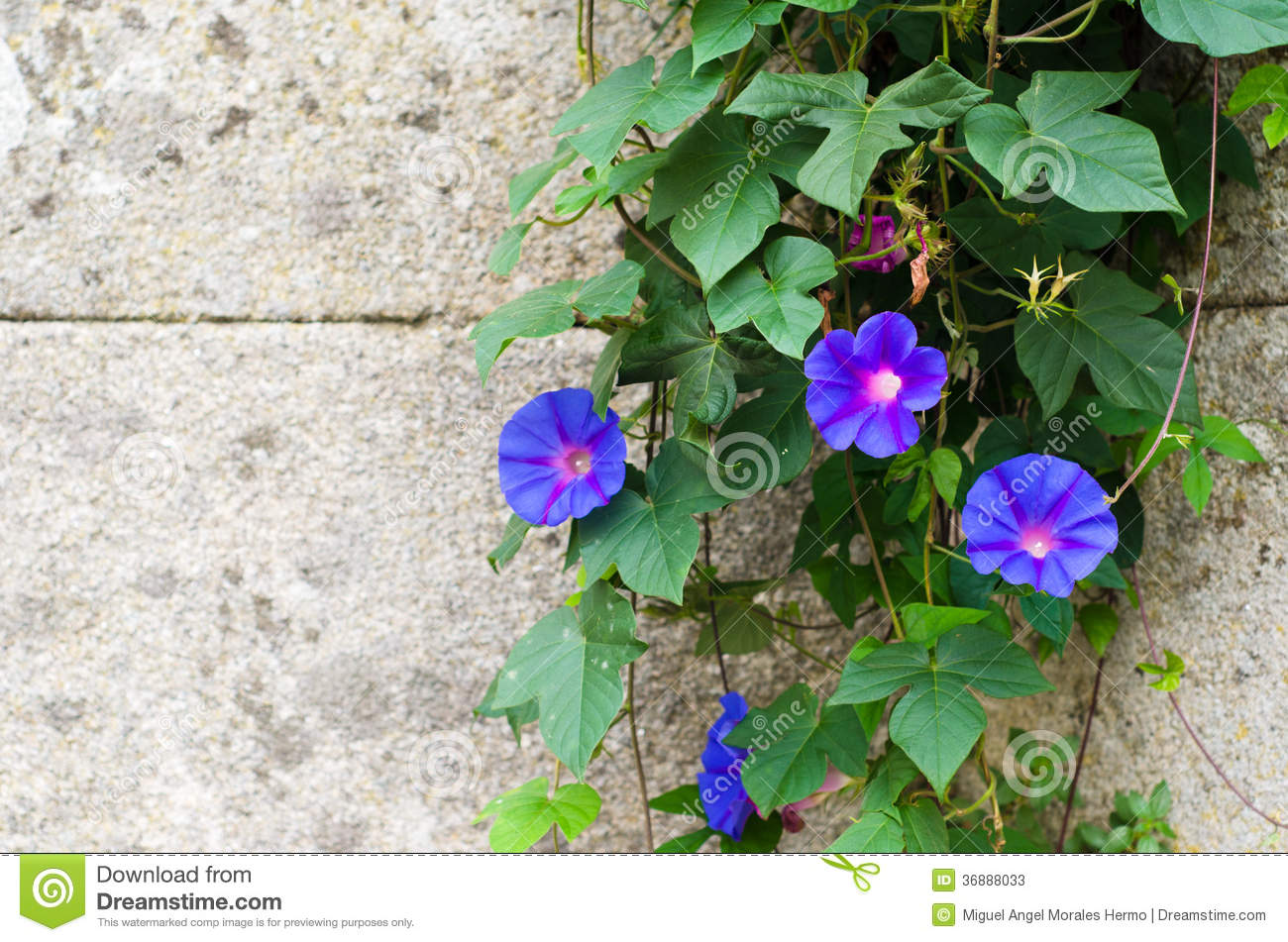 Download Purpurea dell'ipomoea immagine stock. Immagine di luminoso - 36888033