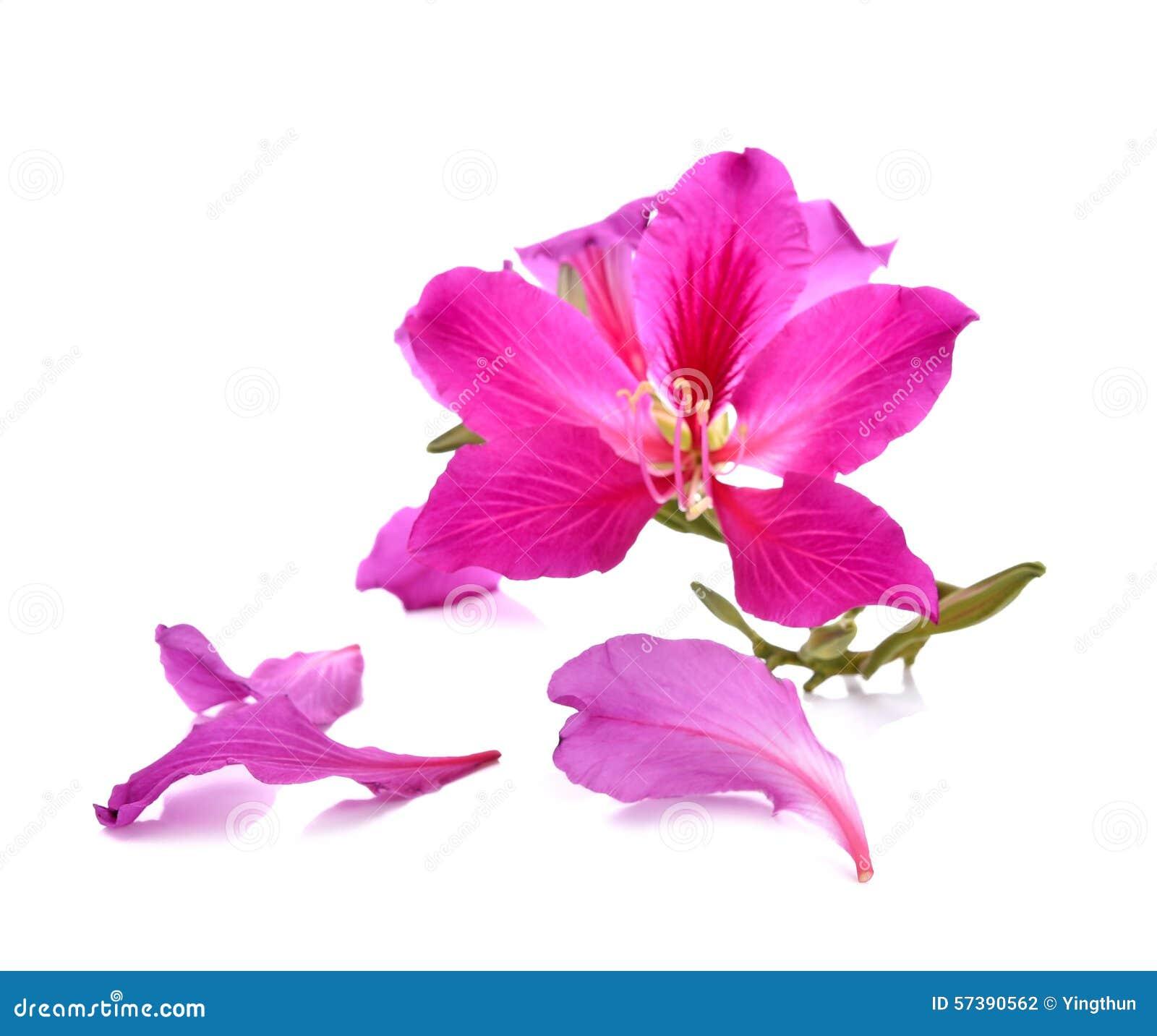 Purpurea purpere die bloemen met witte achtergrond worden geïsoleerd