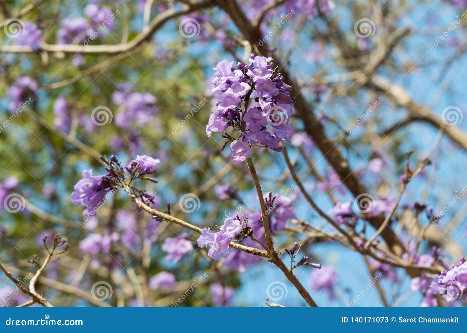 Purpurfärgad blomma för jakarandaobtusifolia som blommar på ett träd