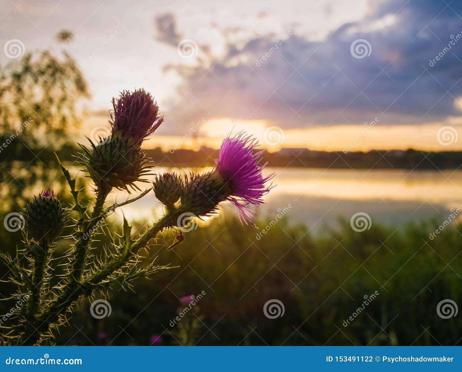 Purpurfärgad blomma för spjuttistel över solnedgånghimmelbakgrund Cirsiumvulgare, växten med ryggen och visare tippade bevingade