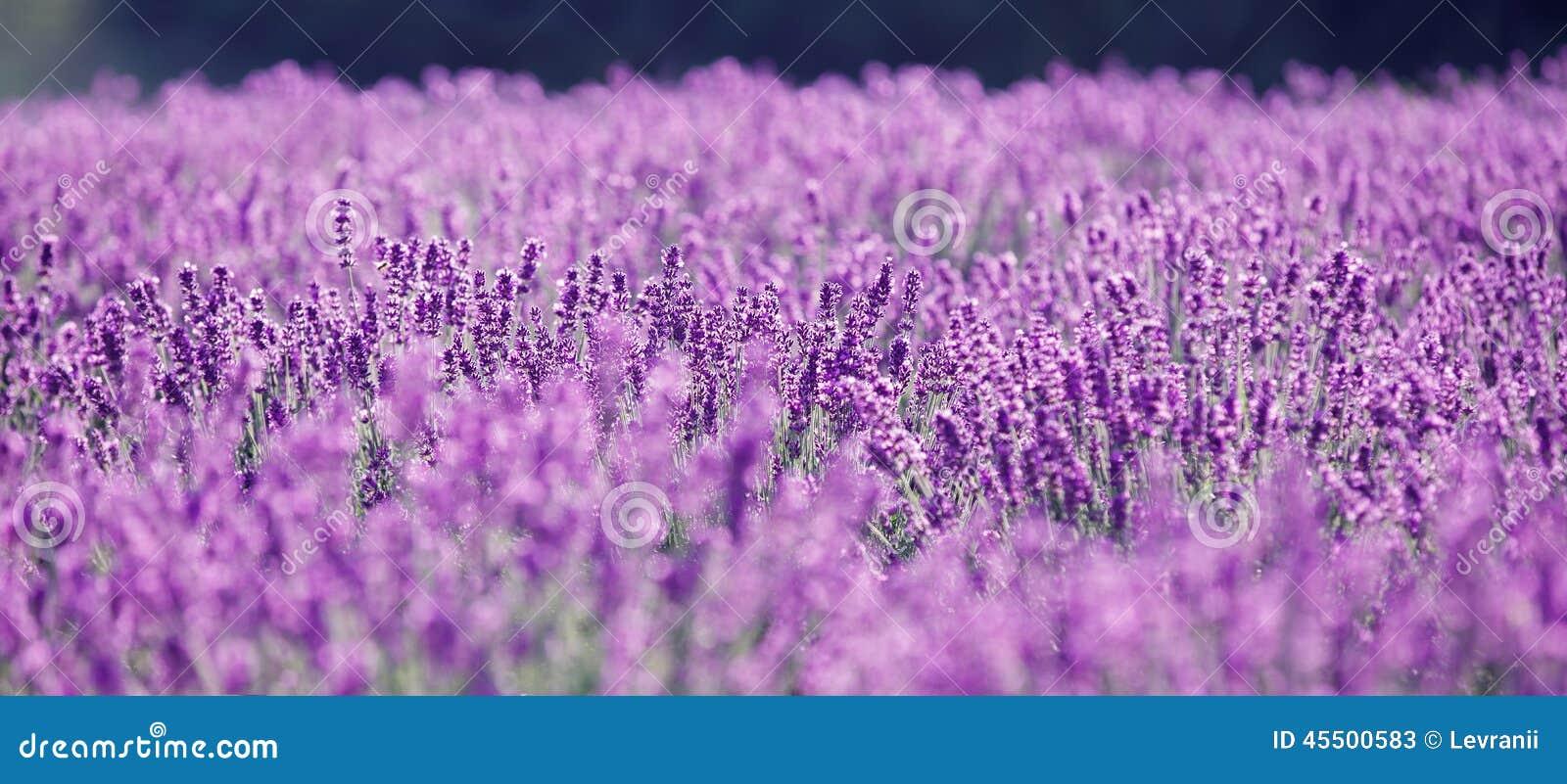 Purpurfärgad lavendel blommar i sätta in