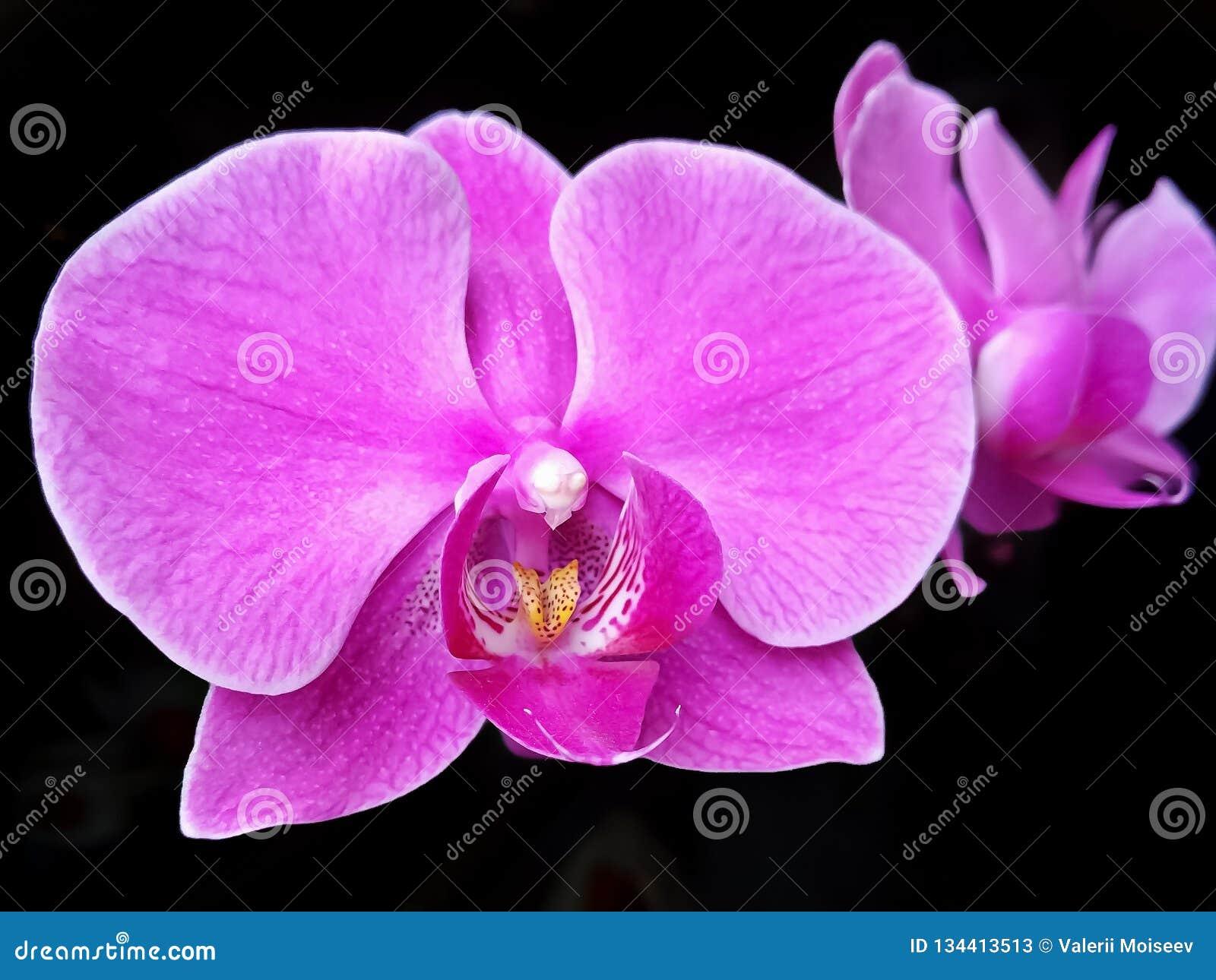Purpurfärgad malorkidé för härlig blomma, Phalaenopsis i mörker