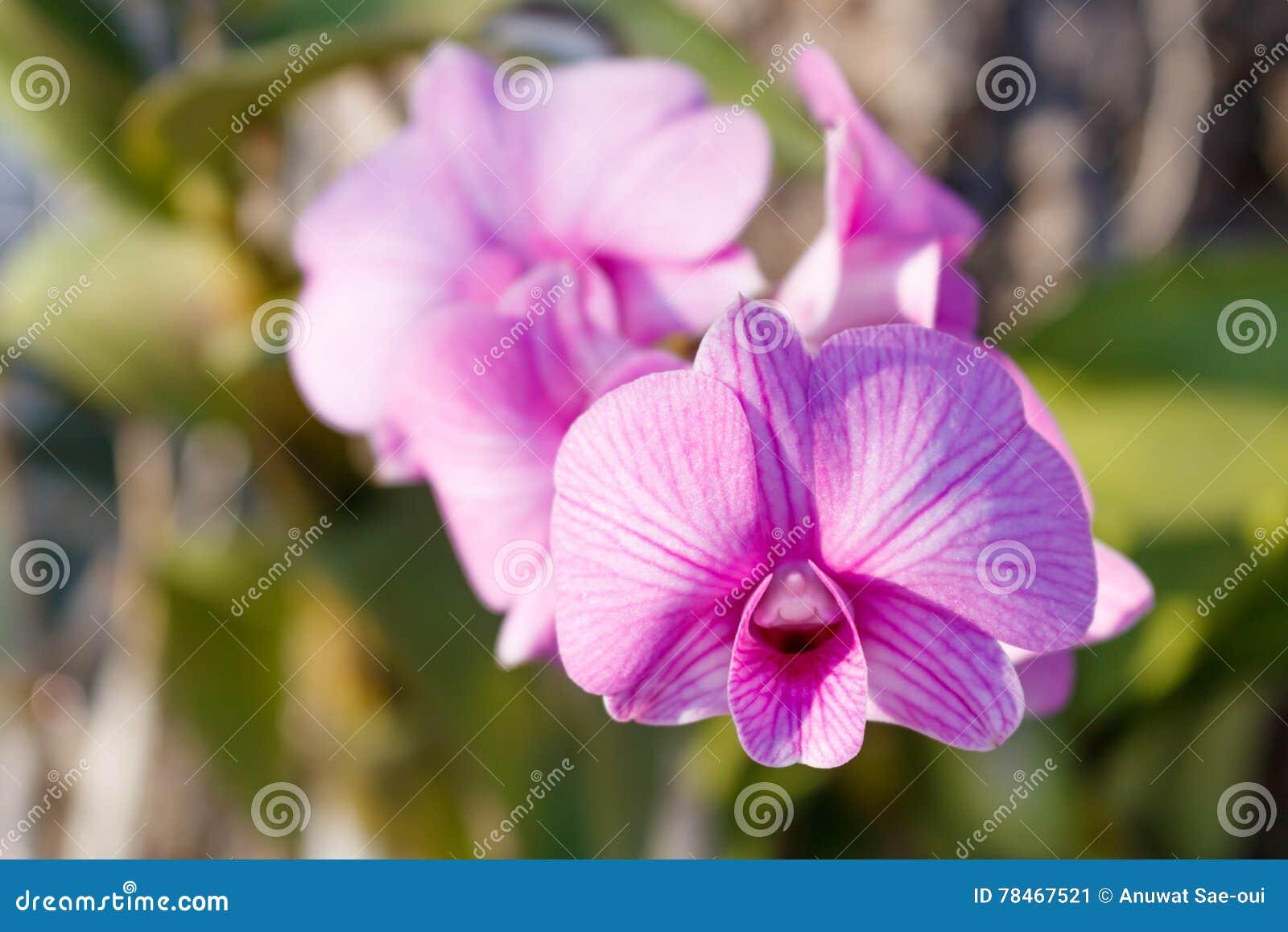 Purpurfärgad orchid