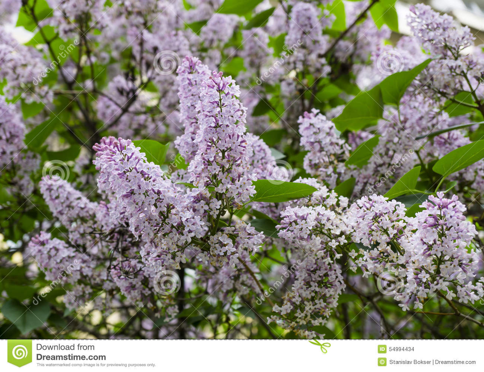 Purpurfärgad violett lila
