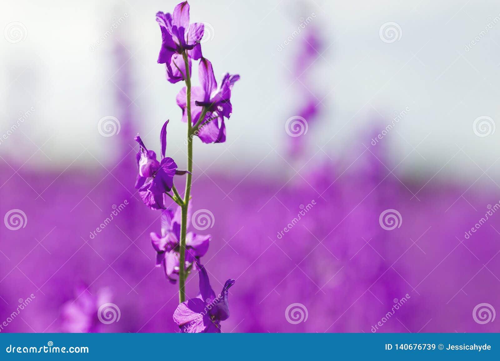 Purpurfärgade blommor för Consolidaajacis att stänga sig upp
