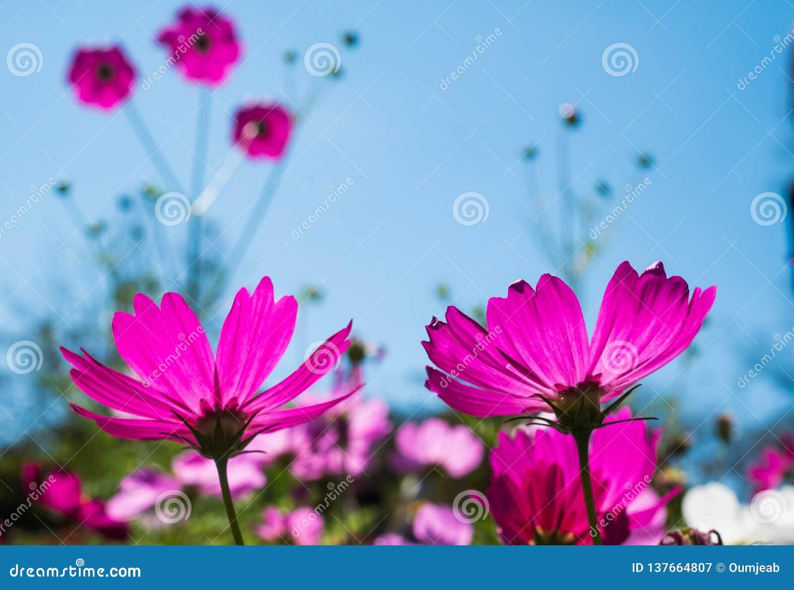 Purpurfärgade blommor på blå himmel